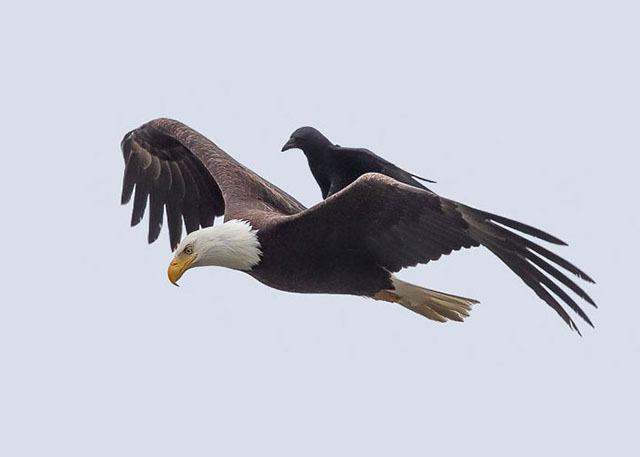 一直在玩命  烏鴉騎乘大鷹背